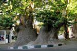 چنار دو هزار ساله محلات