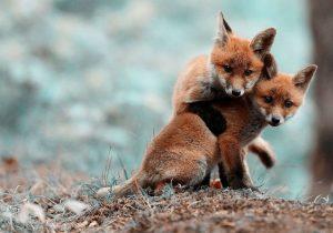 زیبایی زندگی روباها در منطقه حفاظت شده الگن /+کلیپ