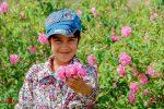 تصاویر برداشت گل محمدی در شیراز و سبزوار